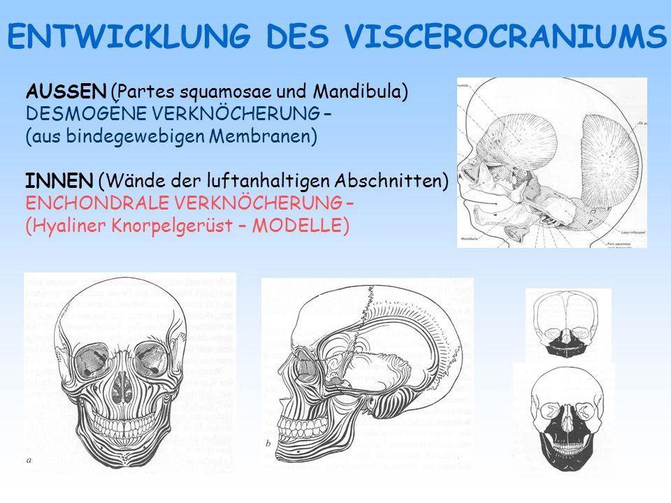 ENTWICKLUNG DES VISCEROCRANIUMS AUSSEN (Partes squamosae und Mandibula) DESMOGÉNE VERKNÖCHERUNG – (aus bindegewebigen Membranen) INNEN (Wände der luft