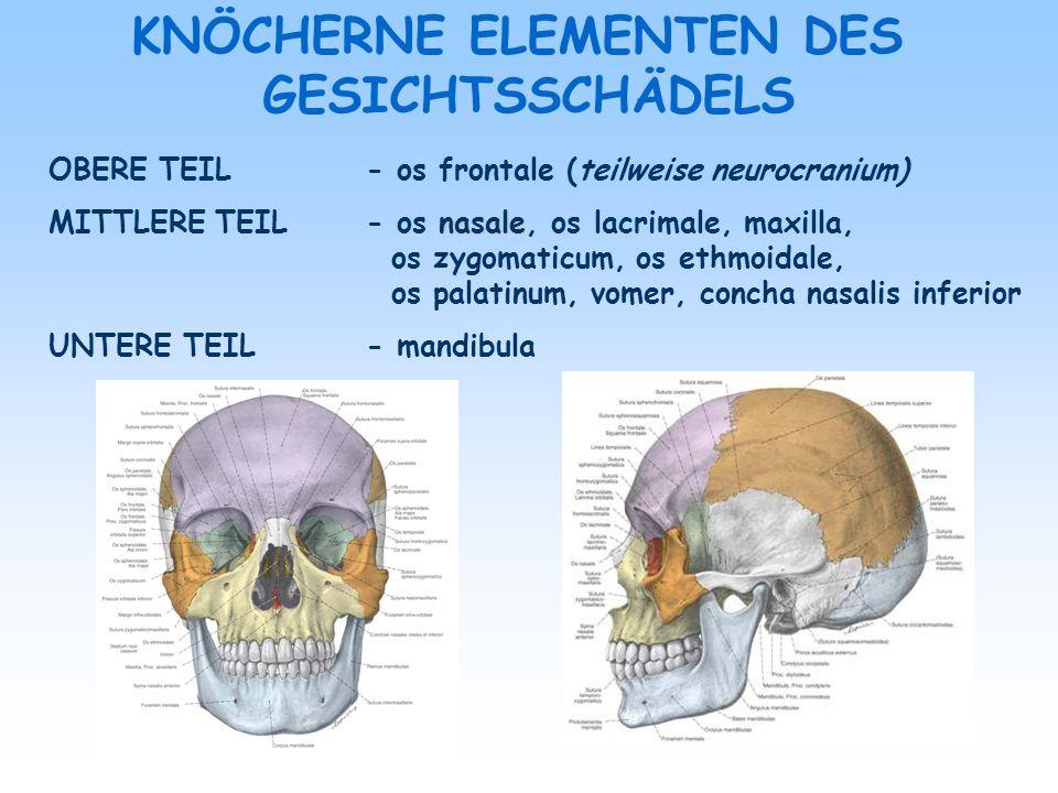 KNÖCHERNE ELEMENTEN DES GESICHTSSCHÄDELS OBERE TEIL - os frontale (teilweise neurocranium) nasale MITTLERE TEIL- os nasale, os lacrimale, maxilla, os
