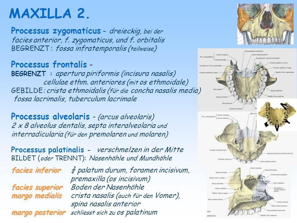OS ZYGOMATICUM OS NASALE OS LACRIMALE BEGRENZT: apertura piriformis GEBILDE: sulcus ethmoidalis BEGRENZT: orbita (mediale Wand) GEBILDE: sulcus lacrimalis crista lacrimalis, fossa lacrimalis canalis nasolacrimalis BEGRENZT: margo infraorbitalis orbita (laterale Wand) GEBILDE: processus frontalis processustemporalis processus temporalis (arcus zygomaticus) canalis zygomaticus canalis zygomaticus : foramen zygomaticofaciale foramen zygomaticotemporale foramen zygomaticoorbitale