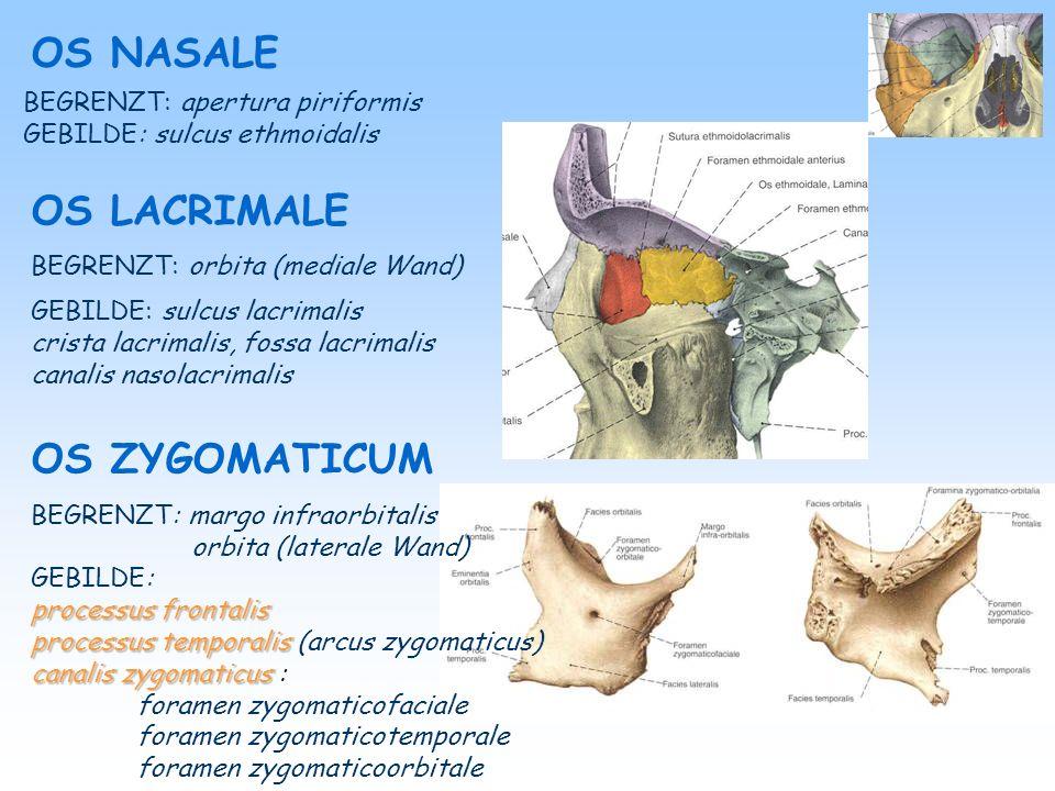 OS ETHMOIDALE OS PALATINUM VOMER Lamina horizontalis Lamina horizontalis (lamina cribrosa) Lamina perpendicularis Lamina perpendicularis (crista galli, septum nasi osseum vorne-oben) Partes laterales ( Partes laterales (labyrinthus, lamina orbitalis, conchae nasales superiores et mediales, bulla ethmoidalis, processus uncinatus) lamina - septum nasi osseum hinten-unten ala – setzt sich auf dem corpus ossis sphenoidalis laminahorizontalis lamina horizontalis - palatum durum, for.
