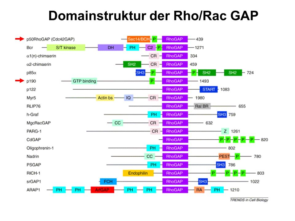Domainstruktur der Rho/Rac GAP