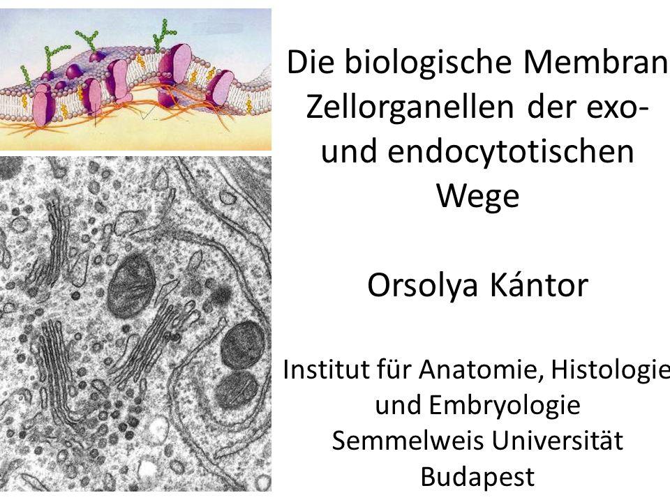 Transport in membranumhüllten Paketen (Vesikeln) Cytose-Prozesse: I.