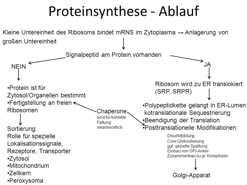 Proteinsynthese - Ablauf Kleine Untereinheit des Ribosoms bindet mRNS im Zytoplasma Anlagerung von großen Untereinheit Signalpeptid am Protein vorhanden NEIN JA Ribosom wird zu ER translokiert (SRP, SRPR) Polypeptidkette gelangt in ER-Lumen kotranslationale Sequestrierung Beendigung der Translation Posttranslationelle Modifikationen: Disulfidbildung Core-Glykosilierung ggf.