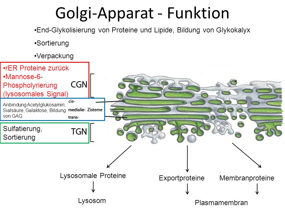 Golgi-Apparat - Funktion rER Proteine zurück Mannose-6- Phospholyrierung (lysosomales Signal) End-Glykolisierung von Proteine und Lipide, Bildung von Glykokalyx Sortierung Verpackung Anbindung Acetylglukosamin, Sialsäure, Galaktose, Bildung von GAG Sulfatierung, Sortierung Lysosomale Proteine Lysosom ExportproteineMembranproteine Plasmamembran