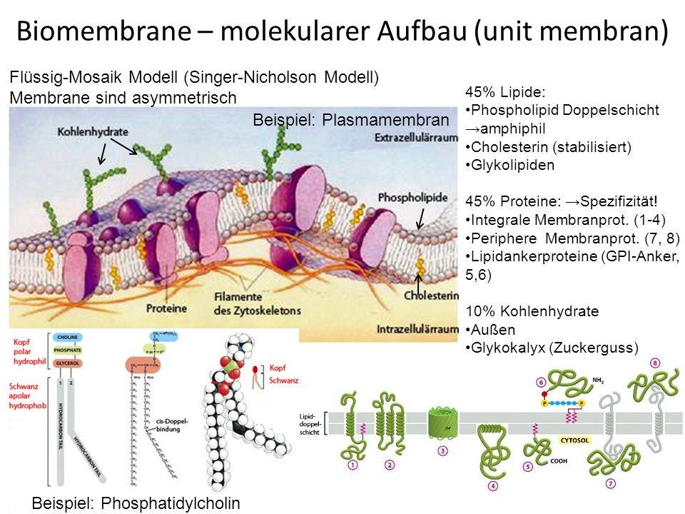 (intergr.) Membranproteine - Funktionen 30% der proteinkodierenden Gene kodieren Membranproteine.