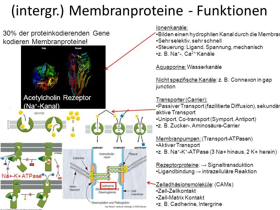 Vesikulärer Transport Transport von Substanzen in membranbegrenzten Vesikeln zwischen membranbegrenzten Kompartimenten Richtung: nach innen nach außen Transportiert wird: gelöste Substanz in Vesikelinnere ein Stück Membran.