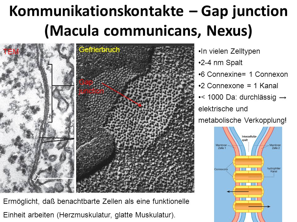 Kommunikationskontakte – Gap junction (Macula communicans, Nexus) Gap junction TEM Gefrierbruch In vielen Zelltypen 2-4 nm Spalt 6 Connexine= 1 Connex