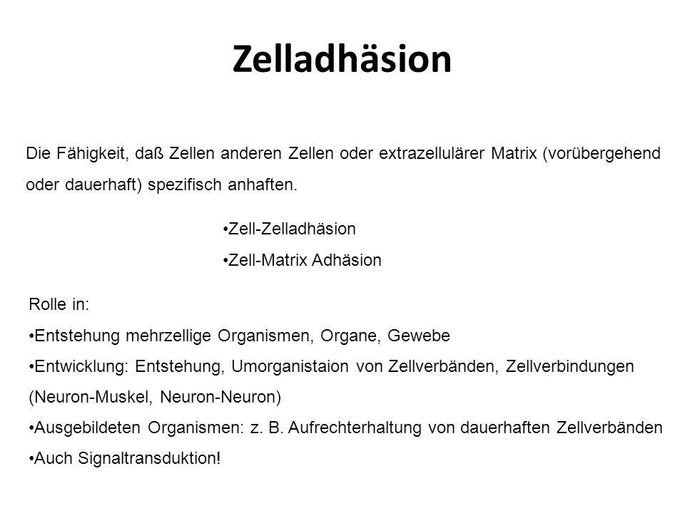 Adhäsionskontakte mit Aktinfilamenten Zwischen Zellen: Zonula/Fascia/Punctum adherens Zur ECM: Fokalkontakt = Adhäsionsplaque Reversibel, dynamisch.