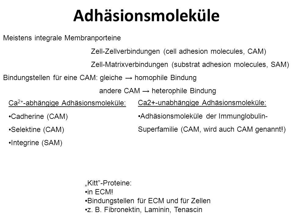 Adhäsionskontakte mit intermediären Filamenten Zwischen Zellen: Macula adherens (Desmosom) Zur ECM: Hemidesmosom