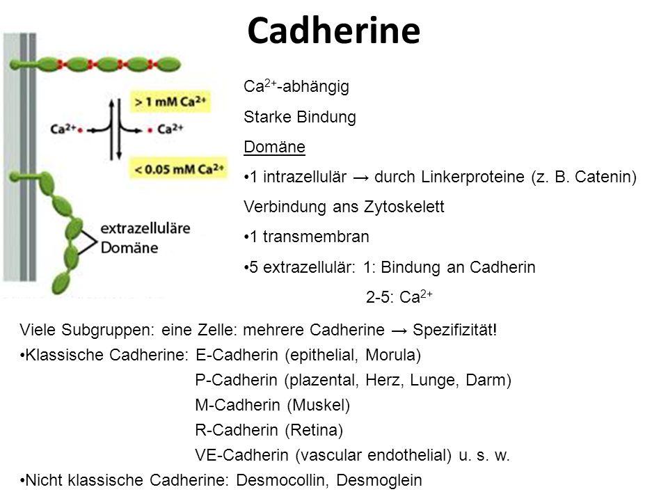 Klinik: Pemphigus vulgaris Intraepitheliale Blasenbindung Ursache: Autoantikörper gegen Desmoglein Desmosome werden aufgelöst