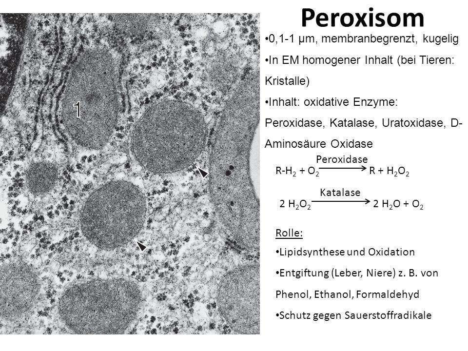 Peroxisom 0,1-1 μm, membranbegrenzt, kugelig In EM homogener Inhalt (bei Tieren: Kristalle) Inhalt: oxidative Enzyme: Peroxidase, Katalase, Uratoxidas