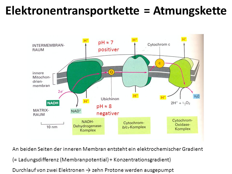 Elektronentransportkette = Atmungskette pH 7 positiver pH 8 negativer An beiden Seiten der inneren Membran entsteht ein elektrochemischer Gradient (=