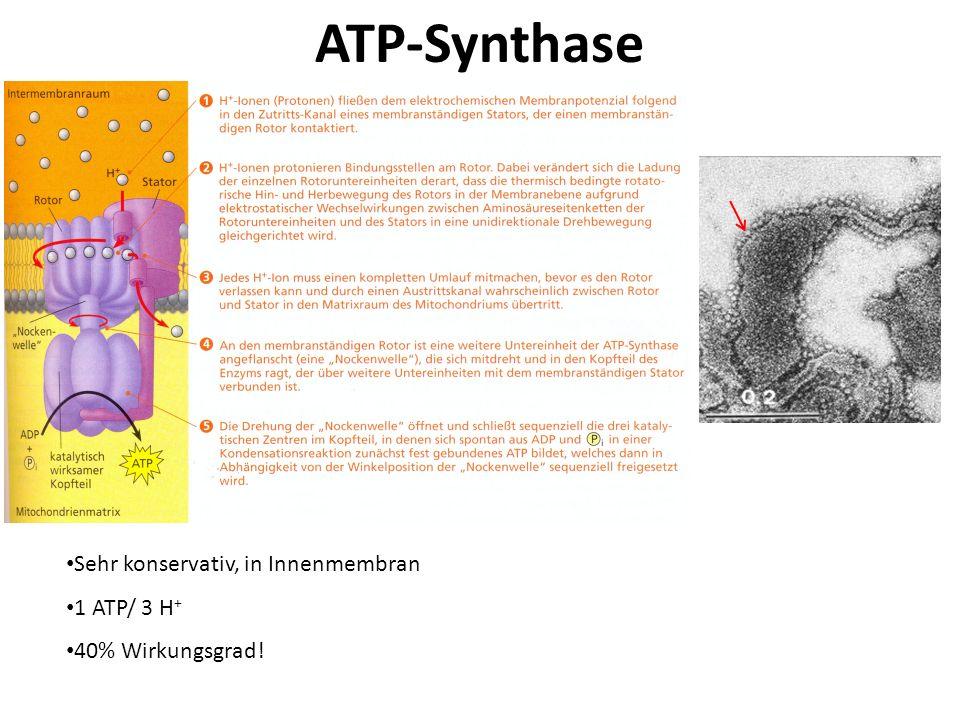 Mitochondrium - Wärmeproduktion Normale Funktion: Proton-Gradient Proton Rückfluß durch ATP-Synthase ATP Synthese Wärmeproduzierende Funktion in braunen Fettzellen: Proton-Gradient Proton Rückfluß durch ein Proton-Kanal (Thermogenin) freigesetzte Energie in Wärme umgewandelt (Elektronentransportkette und ATP-Synthese entkoppelt).