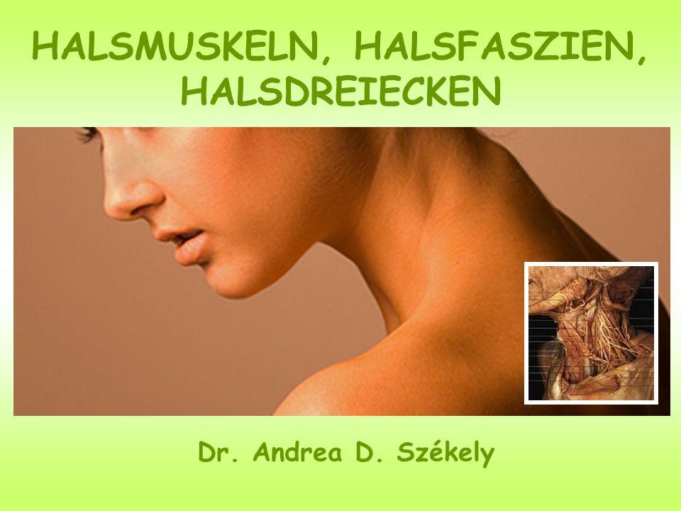 HALSMUSKELN, HALSFASZIEN, HALSDREIECKEN Dr. Andrea D. Székely