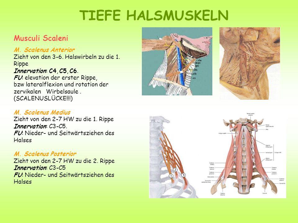 TIEFE HALSMUSKELN Musculi Scaleni M. Scalenus Anterior Zieht von den 3-6. Halswirbeln zu die 1. Rippe Innervation: C4, C5, C6. FU: elevation der erste