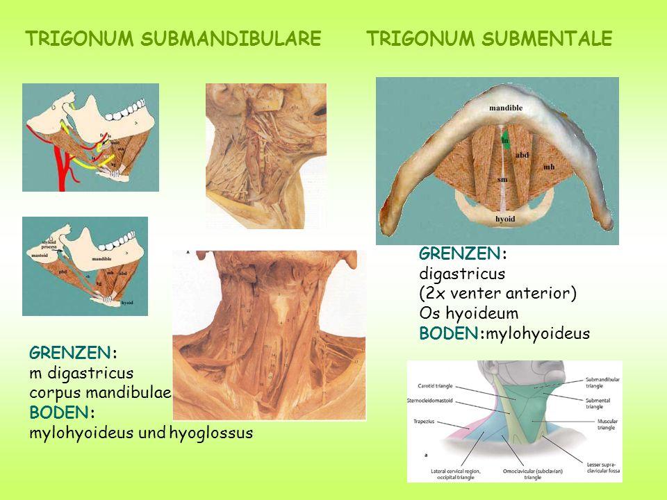 TRIGONUM SUBMANDIBULARE GRENZEN: m digastricus corpus mandibulae BODEN: mylohyoideus und hyoglossus GRENZEN: digastricus (2x venter anterior) Os hyoid