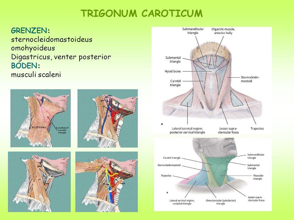 GRENZEN: sternocleidomastoideus omohyoideus Digastricus, venter posterior BODEN: musculi scaleni TRIGONUM CAROTICUM