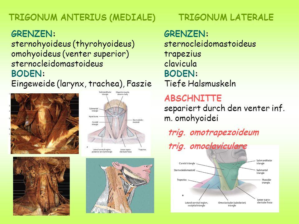 TRIGONUM ANTERIUS (MEDIALE)TRIGONUM LATERALE GRENZEN: sternohyoideus (thyrohyoideus) omohyoideus (venter superior) sternocleidomastoideus BODEN: Eingeweide (larynx, trachea), Faszie GRENZEN: sternocleidomastoideus trapezius clavicula BODEN: Tiefe Halsmuskeln ABSCHNITTE separiert durch den venter inf.