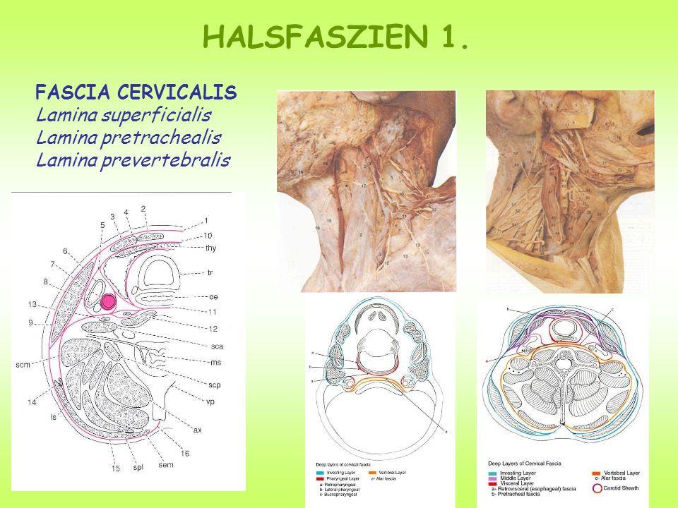 FASCIA CERVICALIS Lamina superficialis Lamina pretrachealis Lamina prevertebralis HALSFASZIEN 1.