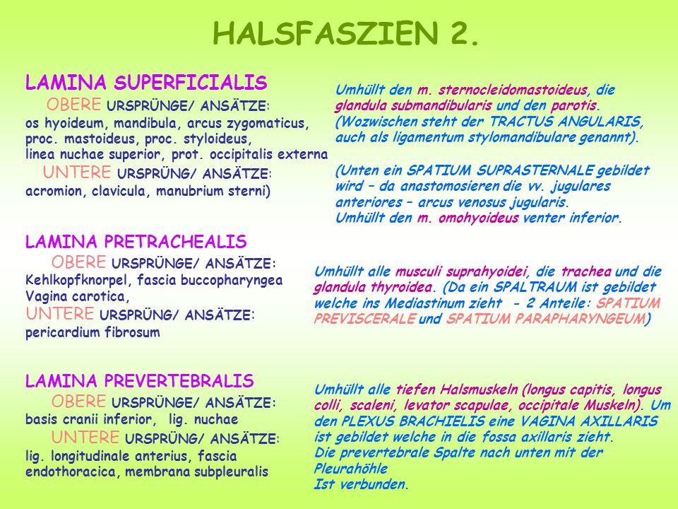 HALSFASZIEN 2. LAMINA SUPERFICIALIS OBERE URSPRÜNGE/ ANSÄTZE: os hyoideum, mandibula, arcus zygomaticus, proc. mastoideus, proc. styloideus, linea nuc