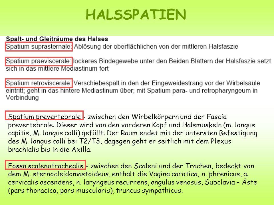 HALSSPATIEN Spatium prevertebrale - zwischen den Wirbelkörpern und der Fascia prevertebrale. Dieser wird von den vorderen Kopf und Halsmuskeln (m. lon