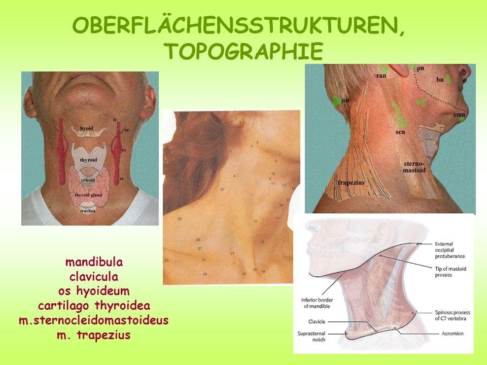 OBERFLÄCHENSSTRUKTUREN, TOPOGRAPHIE mandibula clavicula os hyoideum cartilago thyroidea m.sternocleidomastoideus m.