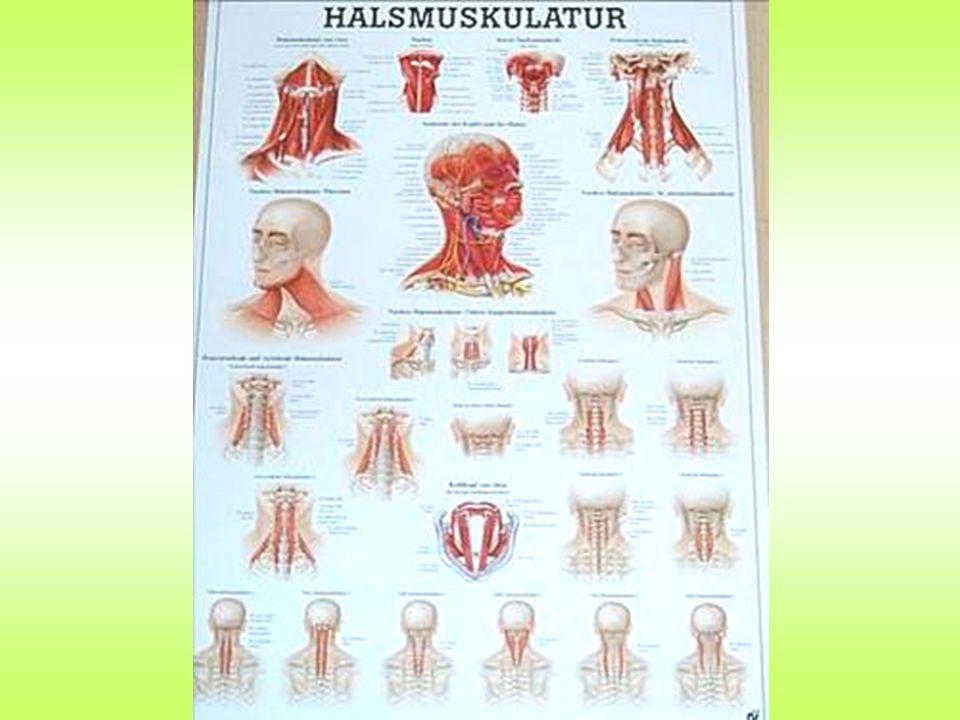 OBERFLÄCHLICHEN HALSMUSKELN Trapezius Die Pars descendens und ascendens drehen das Schulterblatt zur Seite und nach oben, wodurch der Arm über die horizontale Ebene gehoben werden kann.