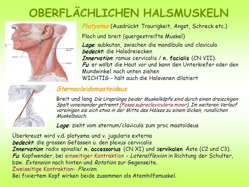 Platysma (Ausdrückt Traurigkeit, Angst, Schreck etc.) Flach und breit (quergestreifte Muskel) Lage: subkutan, zwischen die mandibula und clavicula bedeckt: die Halsdreiecken Innervation: ramus cervicalis / n.