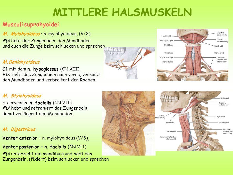 Musculi suprahyoidei M. Mylohyoideus · n. mylohyoideus, (V/3). FU: hebt das Zungenbein, den Mundboden und auch die Zunge beim schlucken und sprechen.