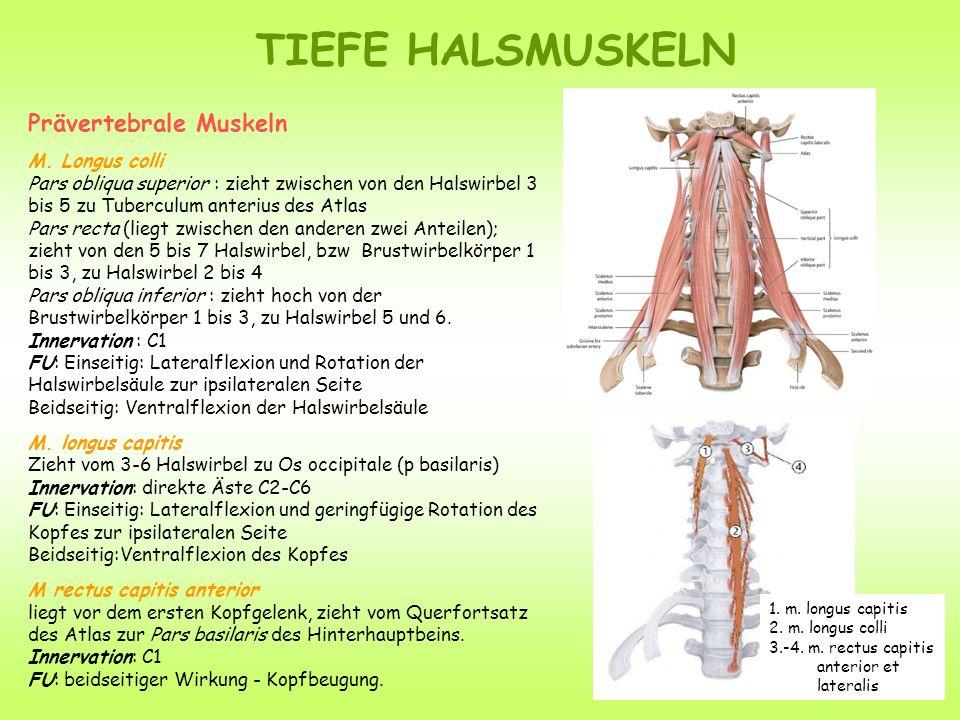 TIEFE HALSMUSKELN Prävertebrale Muskeln M.