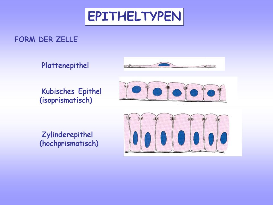 FORM DER ZELLE Plattenepithel Kubisches Epithel (isoprismatisch) Zylinderepithel (hochprismatisch) EPITHELTYPEN