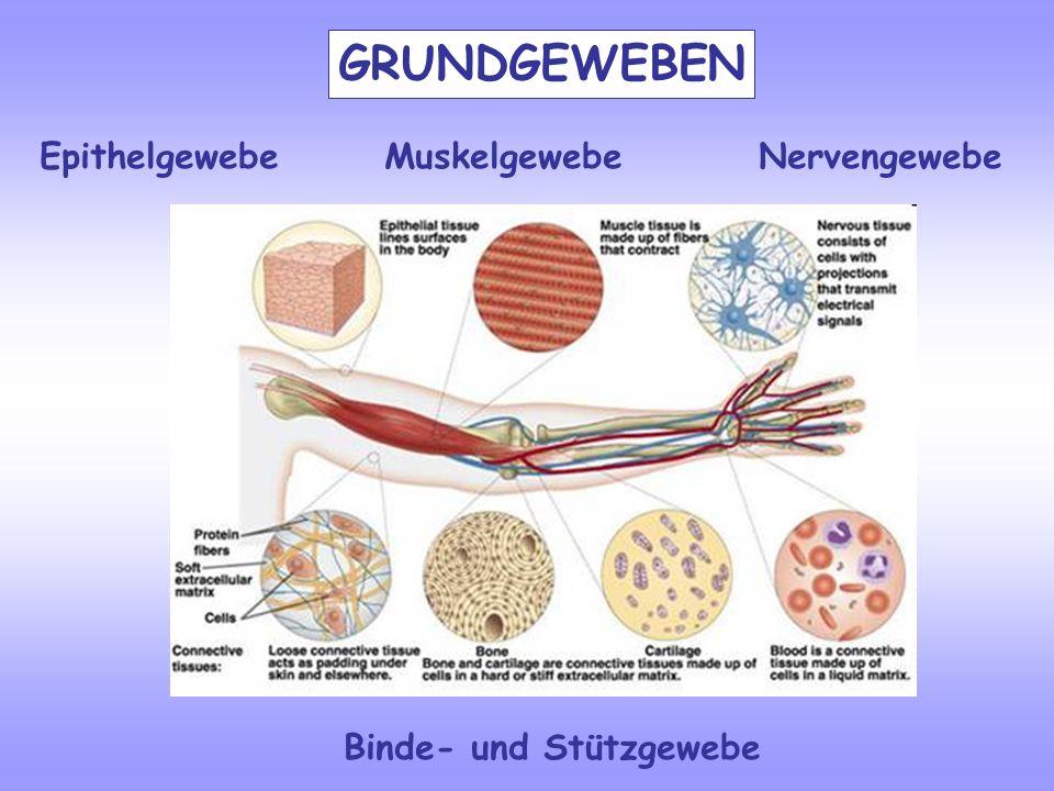 Epithelgewebe Muskelgewebe Nervengewebe Binde- und Stützgewebe GRUNDGEWEBEN