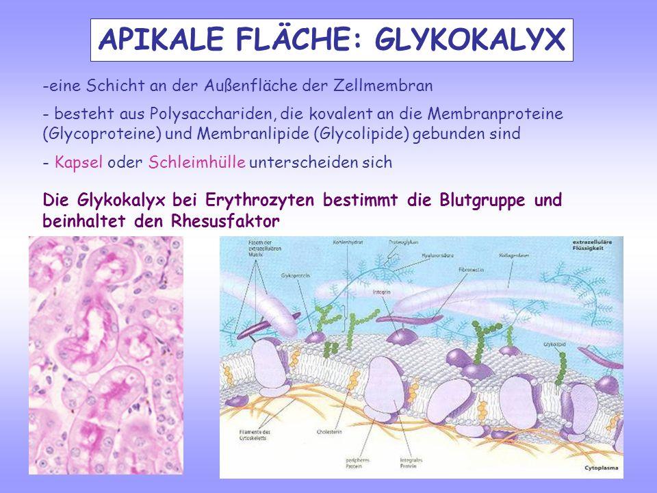 APIKALE FLÄCHE: GLYKOKALYX -eine Schicht an der Außenfläche der Zellmembran - besteht aus Polysacchariden, die kovalent an die Membranproteine (Glycop