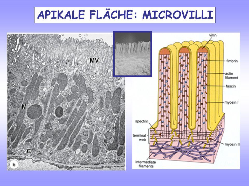 APIKALE FLÄCHE: MICROVILLI