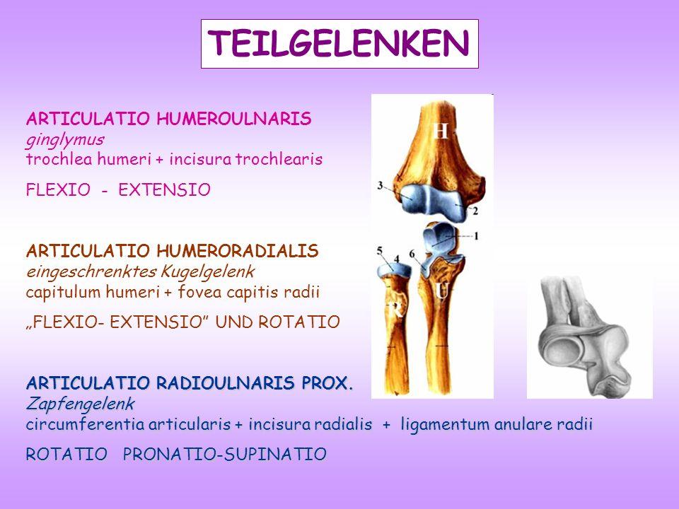TEILGELENKEN ARTICULATIO HUMEROULNARIS ginglymus trochlea humeri + incisura trochlearis FLEXIO - EXTENSIO ARTICULATIO HUMERORADIALIS eingeschrenktes K