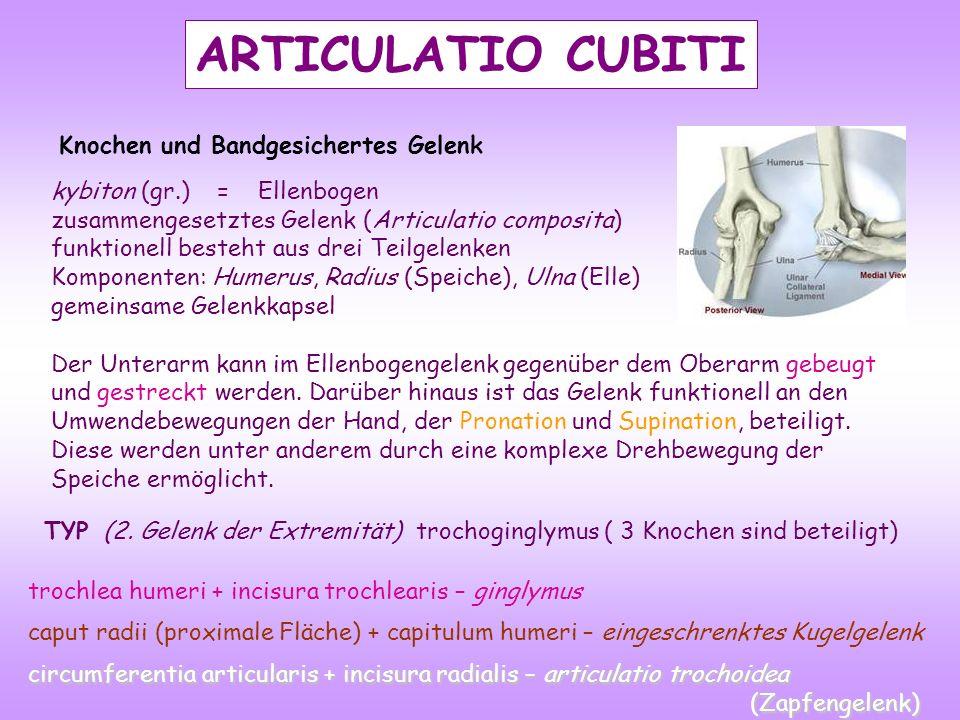 ARTICULATIO CUBITI kybiton (gr.) = Ellenbogen zusammengesetztes Gelenk (Articulatio composita) funktionell besteht aus drei Teilgelenken Komponenten: Humerus, Radius (Speiche), Ulna (Elle) gemeinsame Gelenkkapsel Der Unterarm kann im Ellenbogengelenk gegenüber dem Oberarm gebeugt und gestreckt werden.