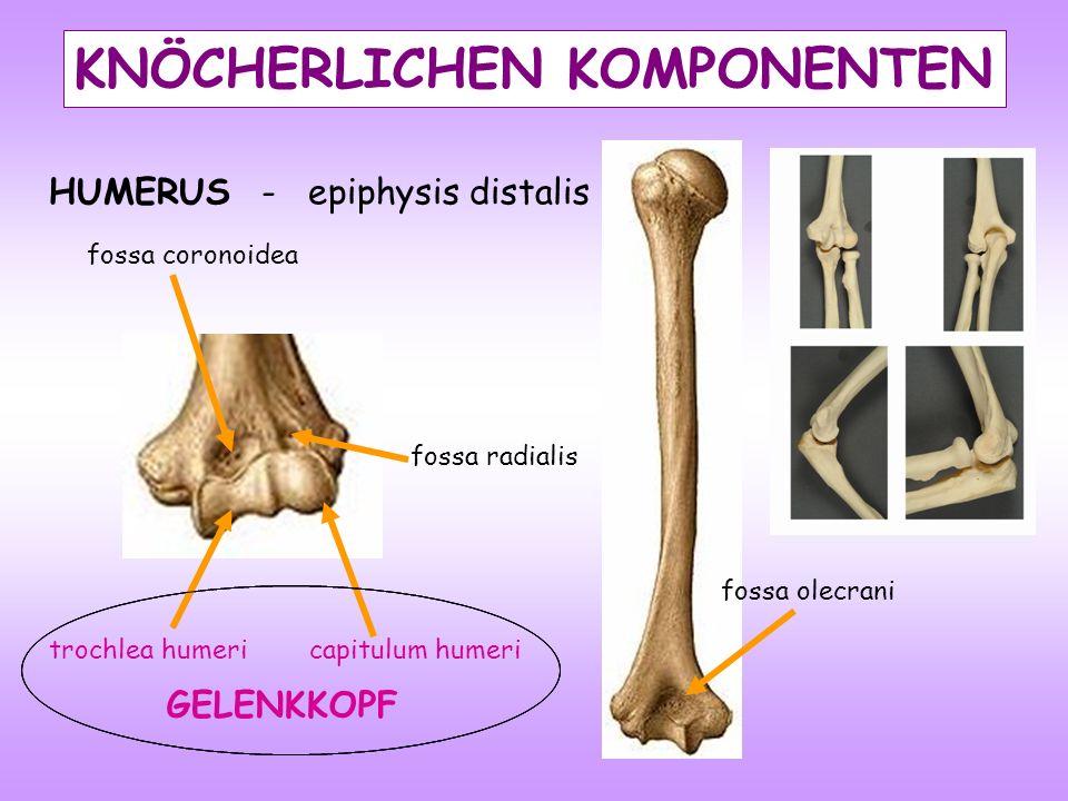 fossa coronoidea fossa radialis capitulum humeritrochlea humeri fossa olecrani HUMERUS - epiphysis distalis KNÖCHERLICHEN KOMPONENTEN GELENKKOPF