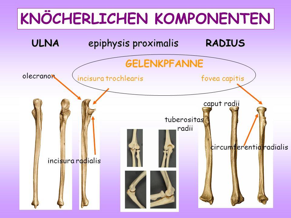 ULNA epiphysis proximalis olecranon incisura trochlearis KNÖCHERLICHEN KOMPONENTEN RADIUS circumferentia radialis caput radii fovea capitis GELENKPFANNE incisura radialis tuberositas radii