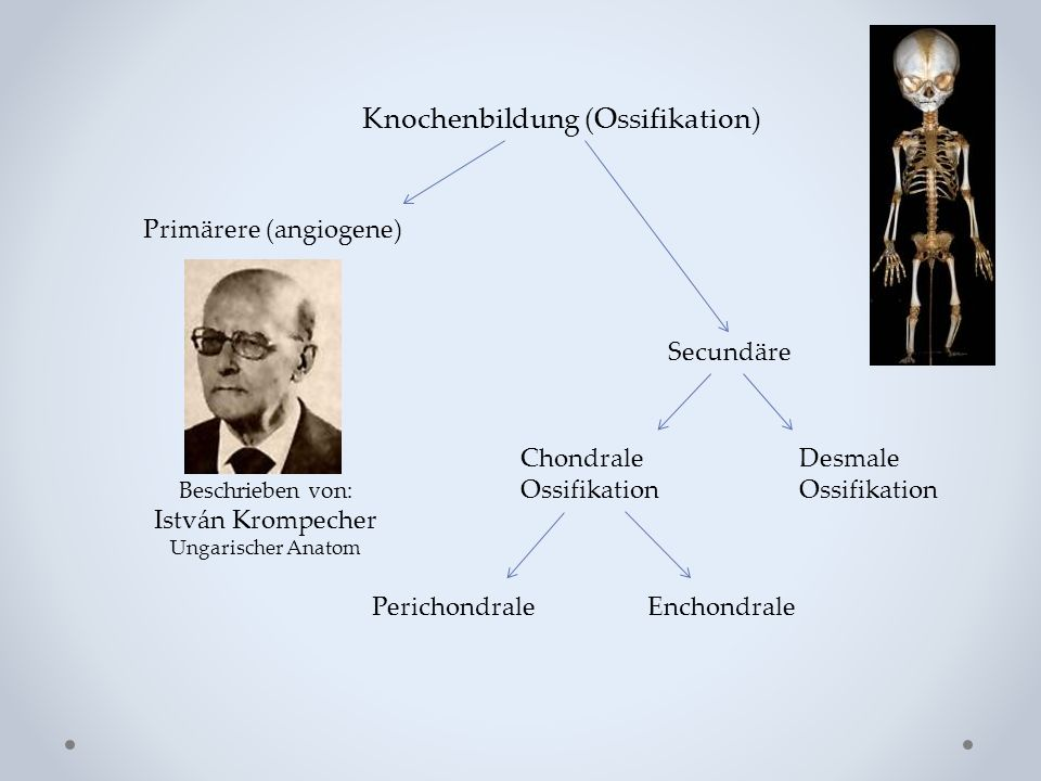 Knochenbildung (Ossifikation) Primärere (angiogene) Secundäre Desmale Ossifikation Chondrale Ossifikation PerichondraleEnchondrale Beschrieben von: Is