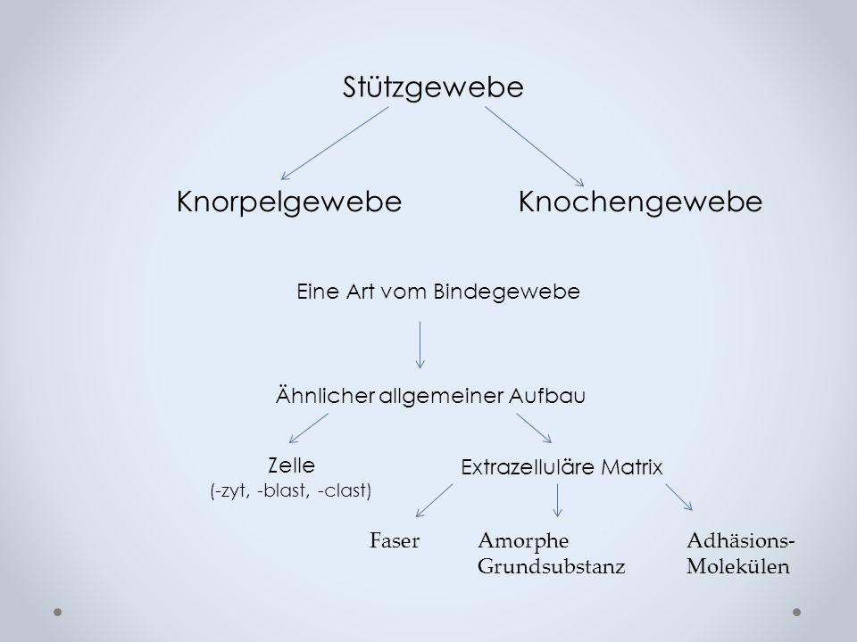 Reservezone Proliferationszone (Säulenknorpel) Degenerationszone (Blasenknorpel) Eröffnungszone (mesenchymale Invasion) Abb: P.