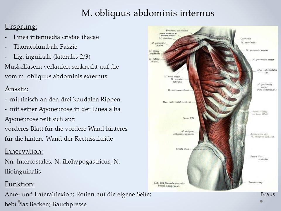 M. obliquus abdominis internus Ursprung: -Linea intermedia cristae iliacae -Thoracolumbale Faszie -Lig. inguinale (laterales 2/3) Muskelfasern verlauf