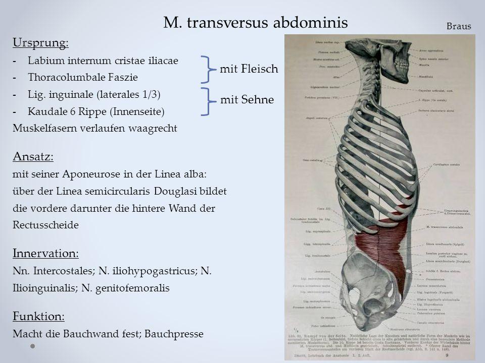 M. transversus abdominis Ursprung: -Labium internum cristae iliacae -Thoracolumbale Faszie -Lig. inguinale (laterales 1/3) -Kaudale 6 Rippe (Innenseit