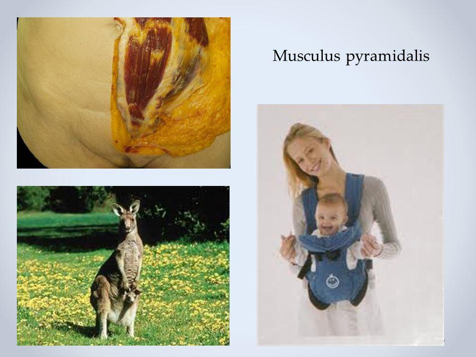 Musculus pyramidalis