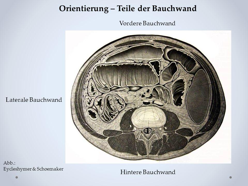 Hintere Bauchwand Vordere Bauchwand Laterale Bauchwand Orientierung – Teile der Bauchwand Abb.: Eycleshymer & Schoemaker