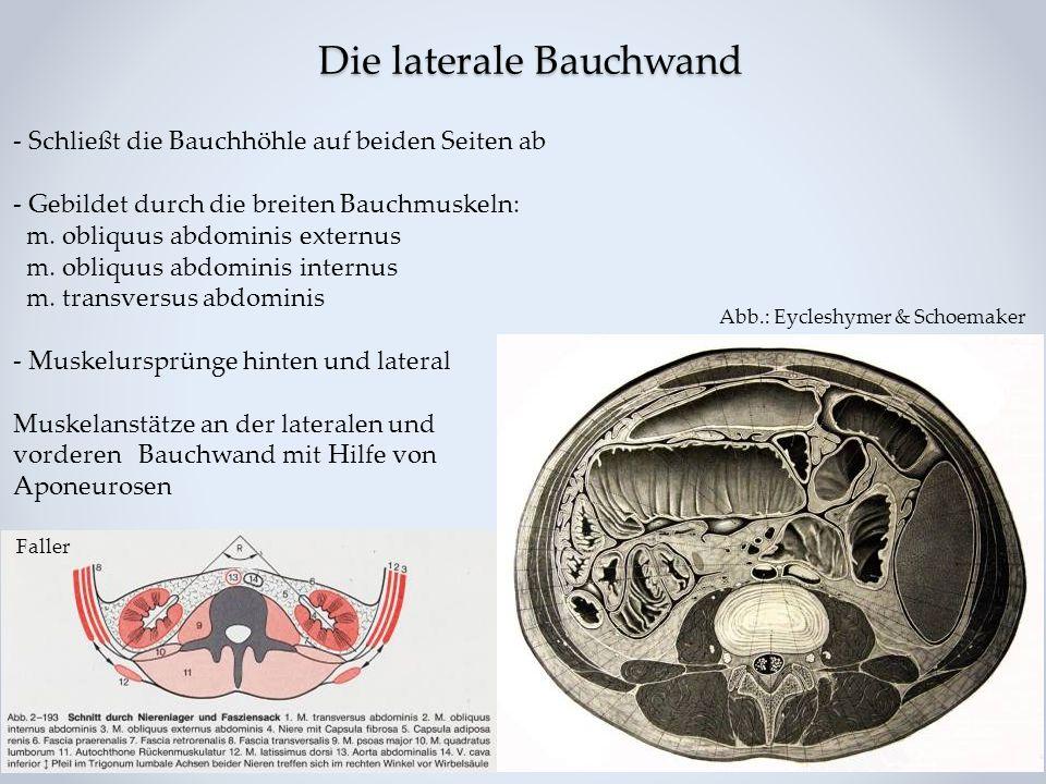 Die laterale Bauchwand - Schließt die Bauchhöhle auf beiden Seiten ab - Gebildet durch die breiten Bauchmuskeln: m. obliquus abdominis externus m. obl