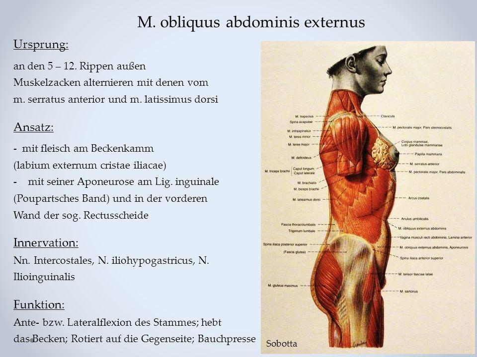 M. obliquus abdominis externus Ursprung: an den 5 – 12. Rippen außen Muskelzacken alternieren mit denen vom m. serratus anterior und m. latissimus dor