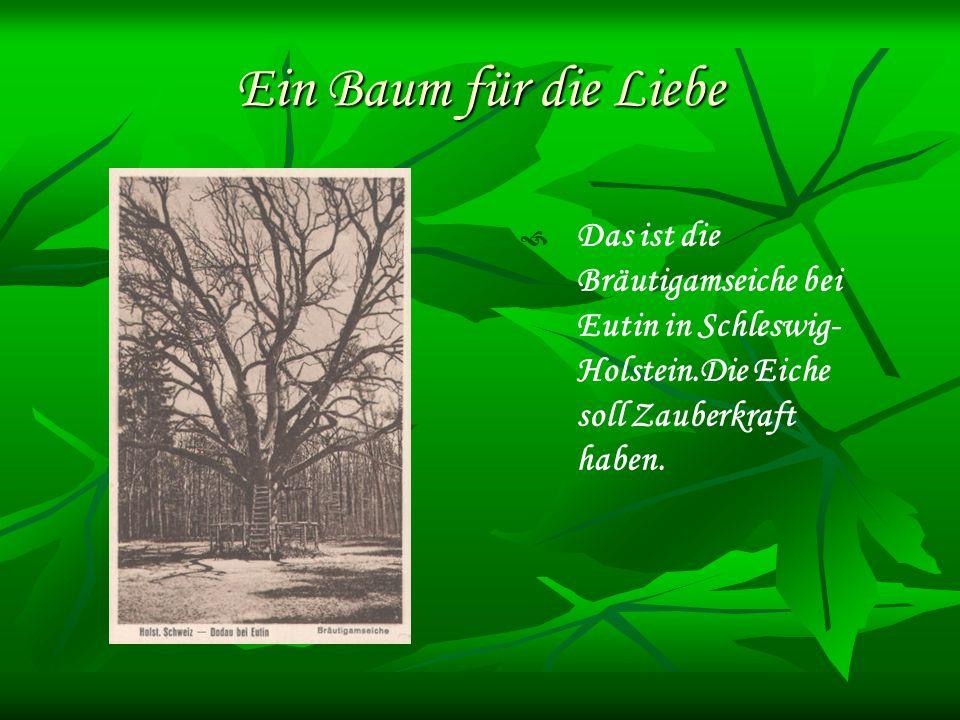 Ein Baum für die Liebe Das ist die Bräutigamseiche bei Eutin in Schleswig- Holstein.Die Eiche soll Zauberkraft haben.