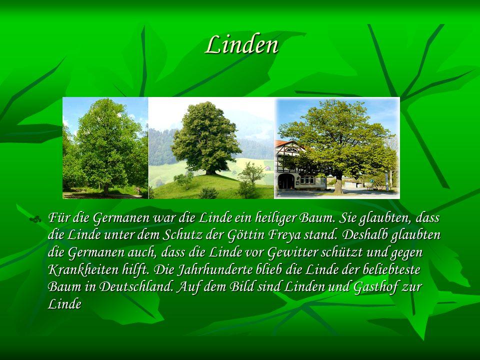 Linden Für die Germanen war die Linde ein heiliger Baum.