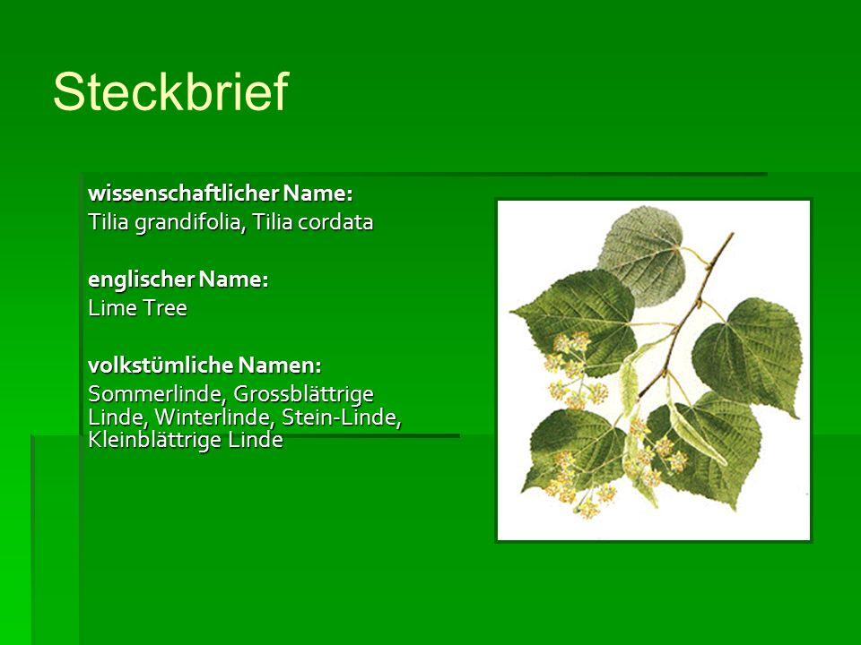 Steckbrief wissenschaftlicher Name: Tilia grandifolia, Tilia cordata englischer Name: Lime Tree volkstümliche Namen: Sommerlinde, Grossblättrige Linde, Winterlinde, Stein-Linde, Kleinblättrige Linde