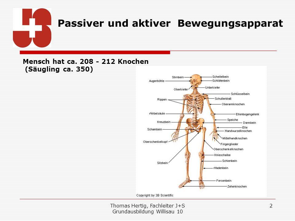 Thomas Hertig, Fachleiter J+S Grundausbildung Willisau 10 2 Mensch hat ca. 208 - 212 Knochen (Säugling ca. 350) Passiver und aktiver Bewegungsapparat